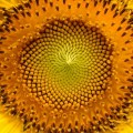 https://pixabay.com/de/sonnenblume-blumen-helianthus-sonne-94187/