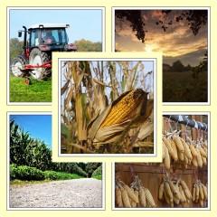 Aus dem Kiez: Gen Mais – Havelland zieht nicht mit